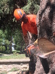Notching a spruce stem with a husqvarna chainsaw