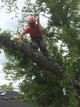 Removal of a manitoba maple tree