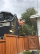 Removal of a manitoba maple tree in a shower of sawdust